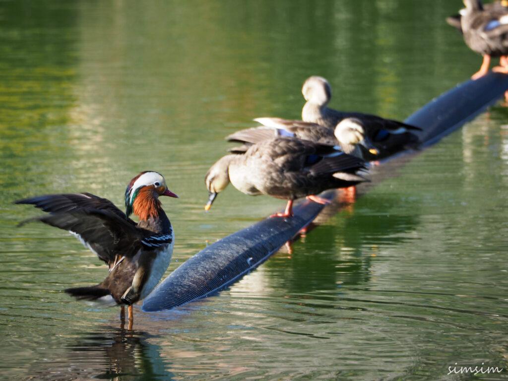 薬師池公園オシドリ