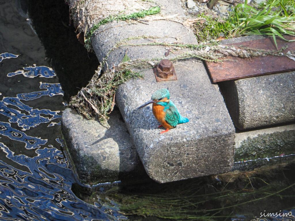近所の川カワセミ