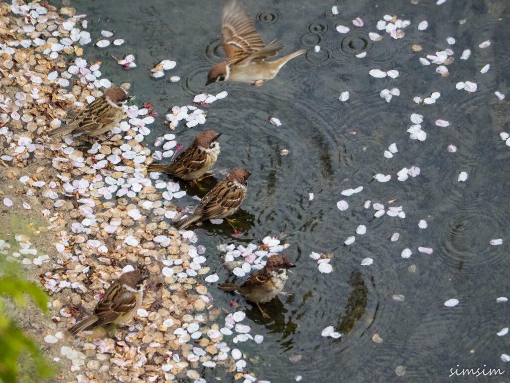 近所のスズメ