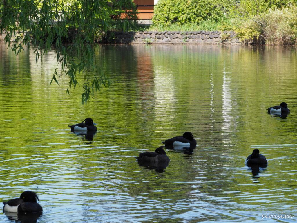 石神井公園キンクロハジロ