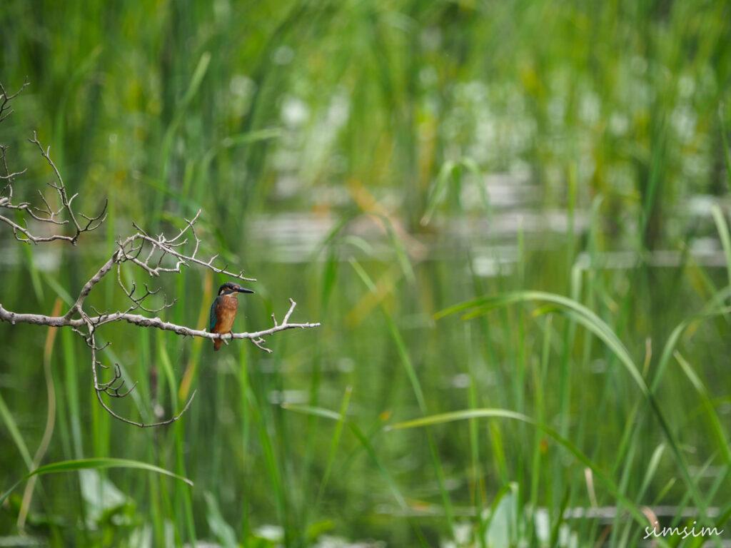 石神井公園カワセミ